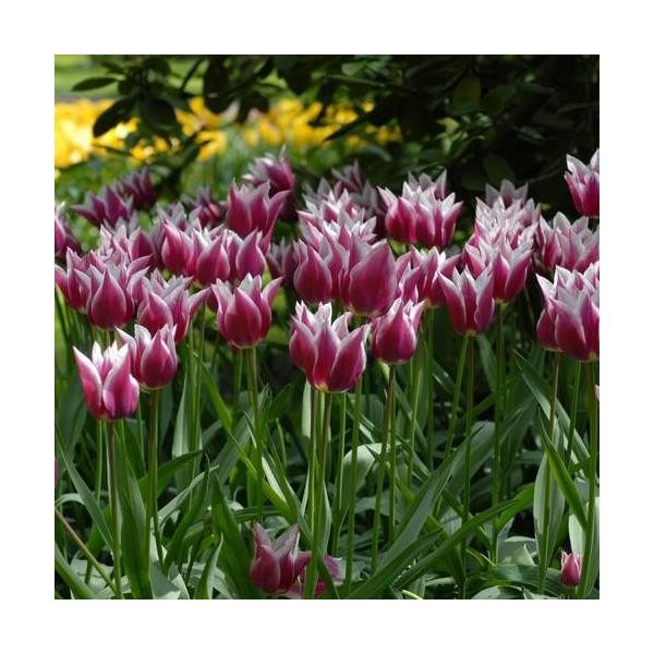 tulipe rouge violac et blanche claudia fleur de lys pas cher. Black Bedroom Furniture Sets. Home Design Ideas