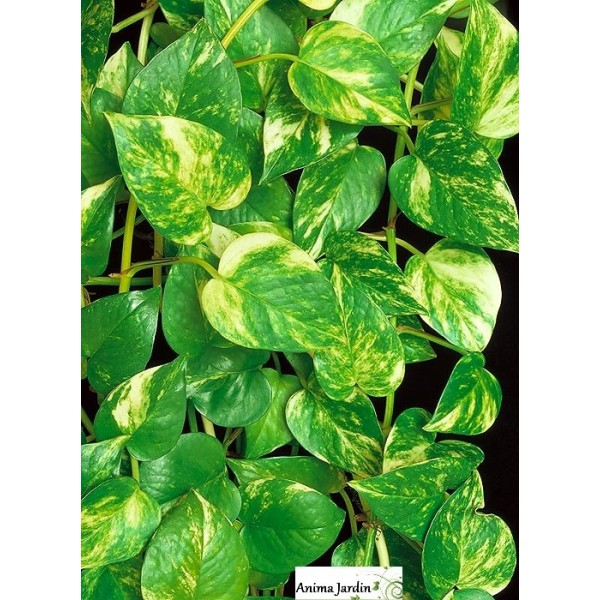 Plante verte grimpante interieur for Plantes vertes interieur