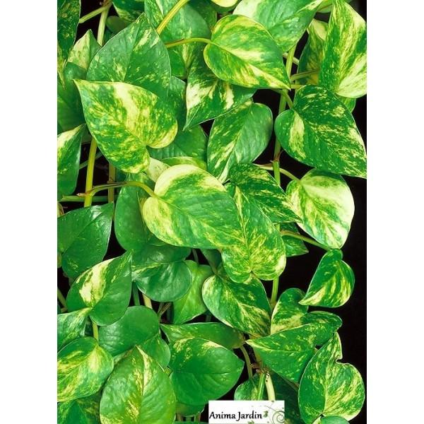 Plante verte grimpante interieur for Vert plante