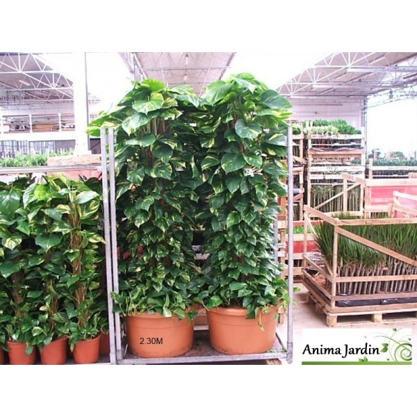 Scindapsus aureum sur tuteur plante verte pothos for Plante verte jardin