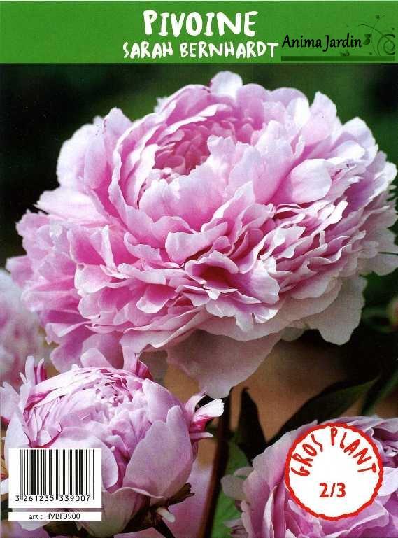 pivoine herbac 233 e vivace bernhardt brillant 2 3 branches achat vente