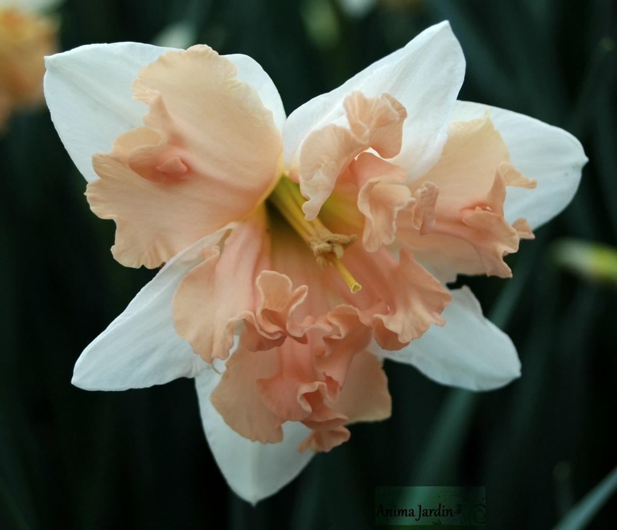 entretien jonquille après floraison