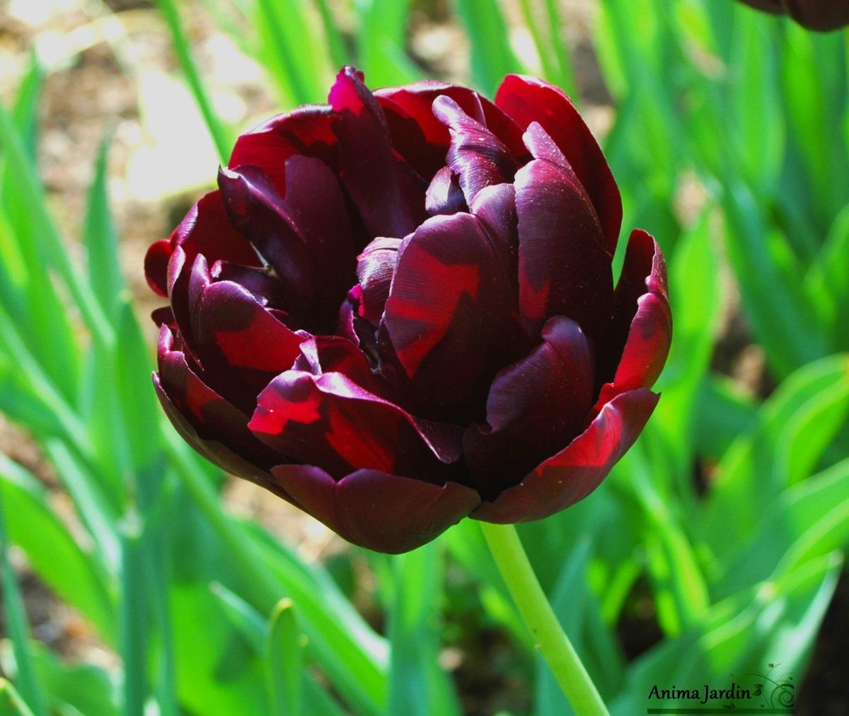tulipe de collection black hero double tardive pas cher les 10 bulbes. Black Bedroom Furniture Sets. Home Design Ideas