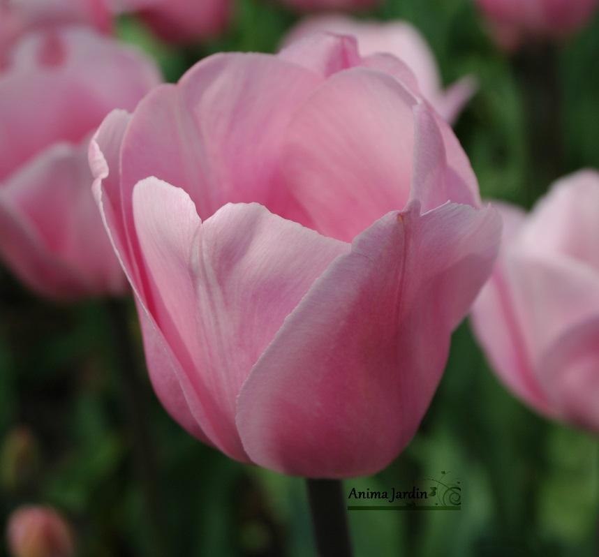 Tulipe triomphe Page Polka