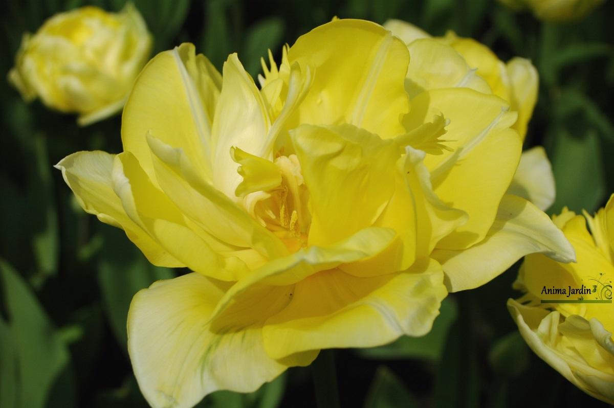 tulipe 'Yellow Pomponette'