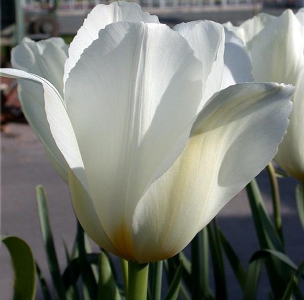 Tulipe blanche white emperor