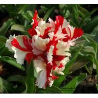 Tulipe de collection Estalla Rijnveld, bulbes calibre 12, perroquet, achat/vente