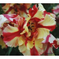 Tulipe perroquet TEXAS FLAME de collection, gros bulbe, floraison mai, achat