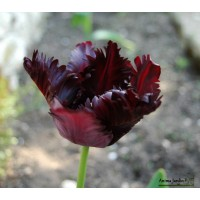 Tulipe de collection Black Parrot, bulbes calibre 12, perroquet, achat/vente