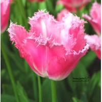 Tulipe de collection Fancy Frills, bulbes calibre 12, frangée, achat/vente