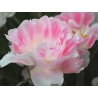 Tulipe angélique, bulbes calibre 12+, double tardive, achat/vente
