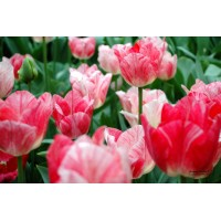 Tulipe de collection hemisphere, bulbe calibre 12, triomphe, pas cher