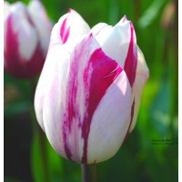 Tulipe de collection ZUREL, bulbe calibre 12, triomphe, pas cher