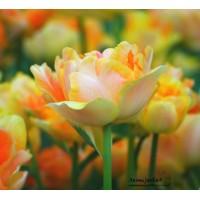 """Tulipe """"Charming Beauty"""" double tardive, pas cher, les 10 bulbes"""