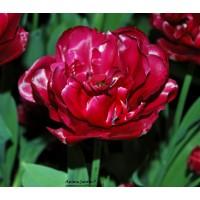 Tulipe Oncle Tom, rouge double, tardive, pas cher, les 10 bulbes, acheter