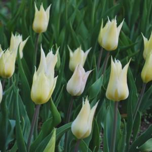 Bulbe Fleur Blanche Gite Pompadour Lubersac