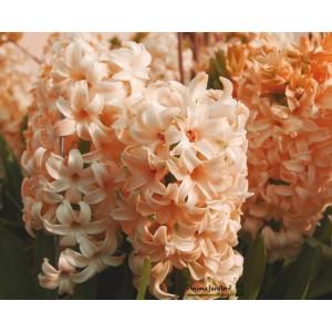 Jacinthe orange, Gipsy Queen, bulbe d'automne, culture facile, achat, par 5 bulbes