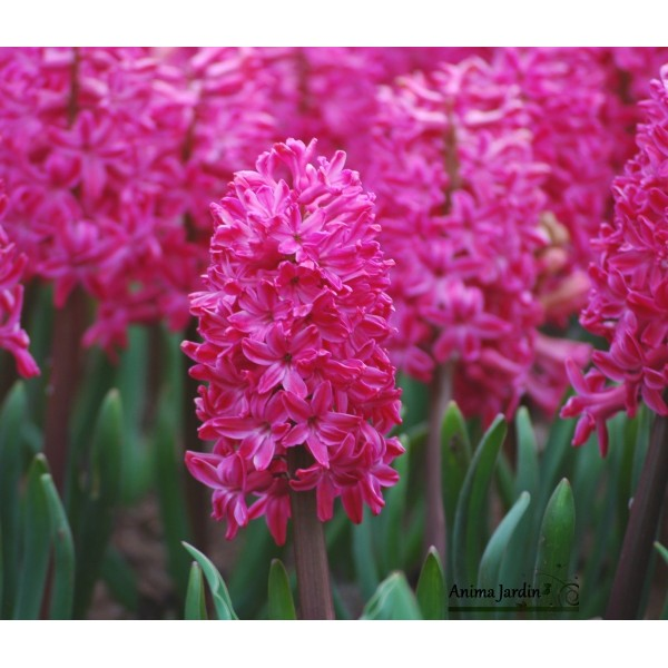 jacinthe rose fonc jan bos bulbe d 39 automne culture facile achat par 5 bulbes. Black Bedroom Furniture Sets. Home Design Ideas
