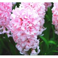Jacinthe rose, Pink pearl, bulbe d'automne, culture facile, achat, par 5 bulbes