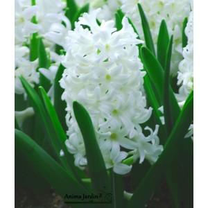 Jacinthe blanche, Carnegie, bulbe d'automne, culture facile, achat, par 5 bulbes