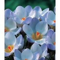 Crocus bleu, blue pearl, bulbe d'automne, pas cher, achat