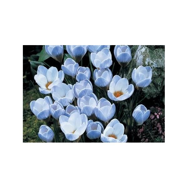 crocus bleu blue pearl bulbe d 39 automne pas cher achat. Black Bedroom Furniture Sets. Home Design Ideas