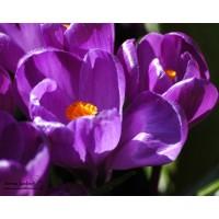 Crocus violet, flower record, bulbe d'automne, pas cher, achat