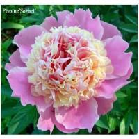 Pivoine herbacée, vivace, Sorbet, rose tendre, 2-3 branches, achat/vente
