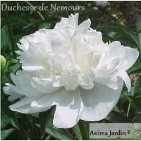 Pivoine herbacée, vivace, Blanche, Duchesse de Neumours, 2-3 branches, achat/vente