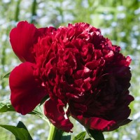 Pivoine Rouge, vivace, 'Red Charm', 2-3 branches, herbacée, achat/vente