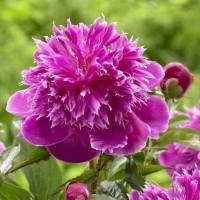 Pivoine pourpre, vivace, Purple-Spider', violet, 2-3 branches, en pot coco, achat/vente