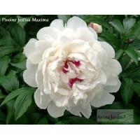 Pivoine blanche, vivace, 'Festiva-Maxima', herbacée, achat/vente