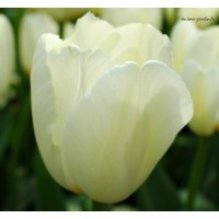 Tulipe blanche, Calgary Triomphe, bulbe d'automne, achat