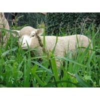 Agneau debout beige en fibre de verre, petit mouton tête haute blanche, animal de la ferme