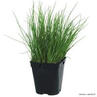 Ciboulette, aromatique, plante condimentaire, pot 1L, achat, pas cher