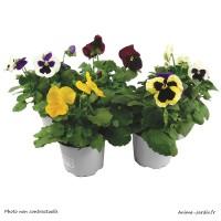 Pensées, pot de 10,5 cm, fleurs bisannuelles, plantation, massif, achat, pas cher
