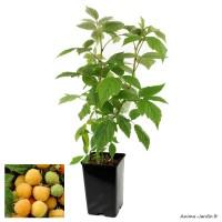 Framboisier remontant Fallgold, arbuste à petits fruits, pot 1,3 L, fruit jaune orangé, achat, pas cher