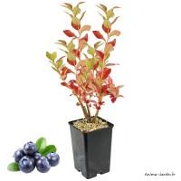 Myrtillier Patriot, arbuste à petits fruits, pot 1,3 L, grosses baies, plante d'extérieure, achat, pas cher