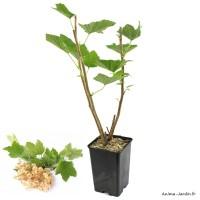 Groseillier grappe Blanka, baies blanches, arbuste à petits fruits, pot 1,3 L, plante d'extérieure, achat, pas cher