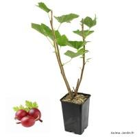 Groseillier Maquereau Captivator, fruit rouge foncé, arbuste à petits fruits, pot 1,3 L, plante d'extérieure, achat, pas cher