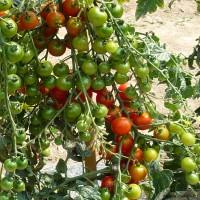 Plant de tomates, tomate cerise Sweet Baby, pot de 0,5L, potager, culture, achat, pas cher
