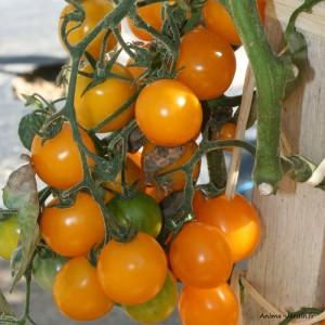 Plant de tomates, tomate cerise Gold Nugget, pot de 0,5L, potager, légume, achat, pas cher