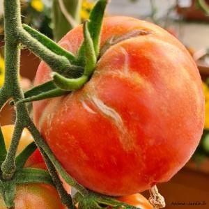 Plant de tomates, tomate Rose de Berne, pot de 0,5L, potager, légume, achat, pas cher