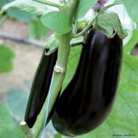 Aubergine Baluroi, plants potagers, pot de 0.5L, légume fruit, achat, pas cher