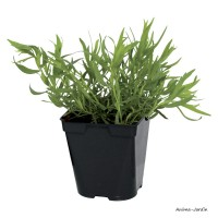 Estragon AB, aromatique, plante condimentaire, pot 1L, achat, pas cher