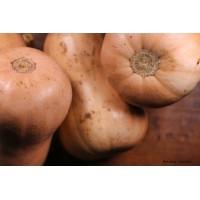 Courge Butternut AB, plants potagers, pot de 0.5L, potager, achat, pas cher