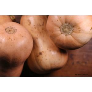 Courge Butternut AB, plants potagers, pot de 0.5L, potager, légume, achat, pas cher