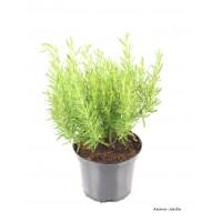 Romarin PAC, aromatique, plante condimentaire, pot 2.5L, achat, pas cher