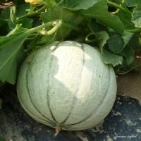 Melon Anasta F1, plants potagers, pot de 0.5L, Légume fruit, achat, pas cher