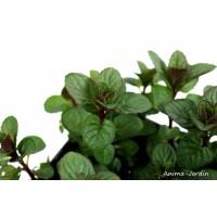 Menthe Mojito PAC, aromatique, plante condimentaire, pot 2.5L, achat, pas cher